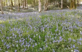 Bluebells in the lake District