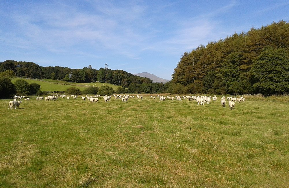 summer sheep cumbria